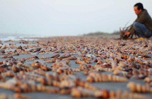 Hàng triệu vỏ ốc Viết nằm la liệt trên bờ biển